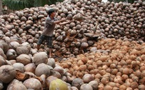 Lái Trung Quốc giảm mua, 20 trái dừa Bến Tre bằng 1 trái bưởi