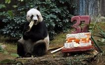 Gấu trúc già nhất thế giới mừng sinh nhật thứ37