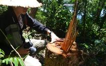 Phá rừng, làm vàng ở lòng hồ Phú Ninh