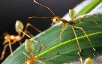 Việt Nam có 379 loài kiến bản địa