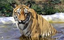 Đấu súng với cảnh sát, 6 tên săn trộm hổ thiệt mạng