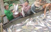 Thương lái Trung Quốc làm loạn giá cá tra