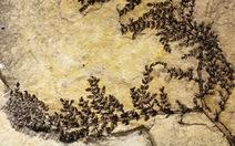 Tìm thấy loài cây có hoa đầu tiên thế giới