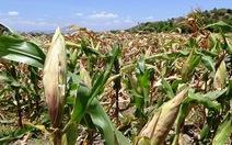 Nông dân Khánh Hòa thất thu vì nắng hạn gay gắt kéo dài