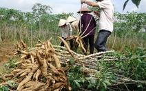 Xuất khẩu sắn có thể đạt 1,5 tỉ USD