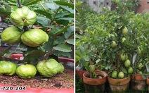 Giống ổi mới trồng trong chậu siêu trái hút khách tham quan ở triển lãm