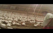 """Video hé lộ """"bạo hành"""" tại trại cung cấp gà cho McDonald's"""