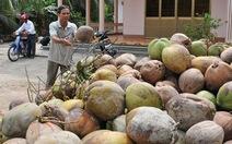 Dừa Bến Tre tăng giá gấp đôi