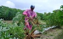 Dân Quảng Nam dầm mưa gặt lúa, nhổ mì chạy bão
