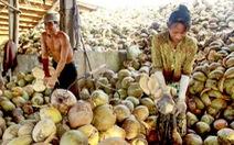 Lột vỏ dừa bên sông Hàm Luông