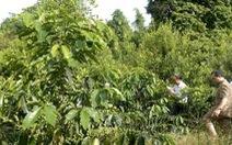 Trồng xen cây mắcca trong vườn cà phê mang lại hiệu quả cao