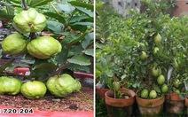Thí điểm thành công giống ổi mới trồng trong chậu ra nhiều trái