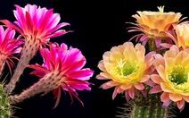 Độc đáo clip time-lapse 15 giống hoa xương rồng nở