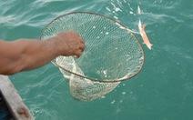 Ngư dân Cà Mau trúng mùa mực