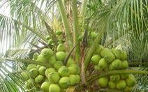 Không đồng ý trồng dừa trên đường phố TP.HCM
