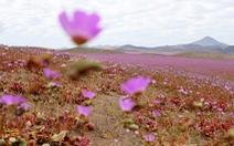 Ngất ngây mùa hoa nở hiếm hoi ở sa mạc Atacama