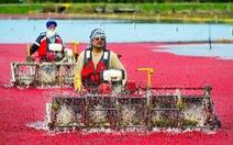 Đỏ rực mùa thu hoạch việt quất ở Richmond