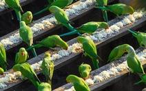 Clip người đàn ông nuôi 4.000 con chim hoang dã
