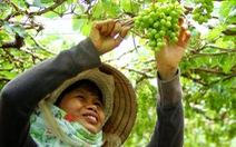 Mùa nho Ninh Thuận