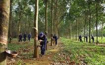 Giá giảm, nhiều nhà vườn Đồng Nai dừng khai thác mủ cao su