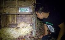 Thả 24 con tê tê Java về rừng