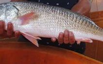 Câu được cá sủ vàng quý hiếm trị giá trên nửa tỷ đồng