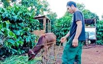 Dân nghèo được tặng bò được hơn một tuần thì bò chết
