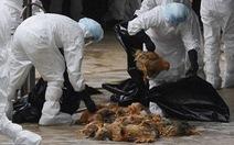 Bà Rịa - Vũng Tàu tiêu hủy hàng chục ngàn con gà nhiễm H5N1