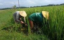 Khuyến cáo không tăng diện tích lúa Nhật tại VN