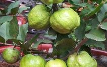 Thí điểm thành công giống ổi mới trồng trong chậu cho nhiều trái