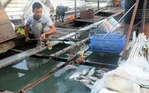 Hàng trăm ký cá chết mỗi ngày, người nuôi cá bè thiệt hại nặng