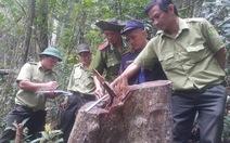 Đà Nẵng khởi tố vụ phá rừng lấy 159m3 gỗ
