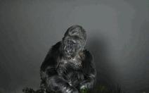 Clip khỉ Koko dùng ký hiệu gửi thông điệp đến con người