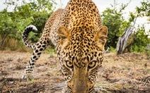 Nam Phi ban hành lệnh cấm săn bắt báo trong vòng một năm