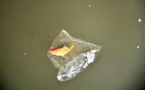 Nhốt cá trong bao nilông thả xuống nước trong ngày ông Táo