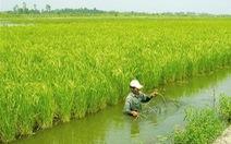 Cà Mau: trên 56% diện tích lúa tôm bị thiệt hại