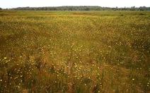 Đồng Tháp có cỏ nở hoa vàng