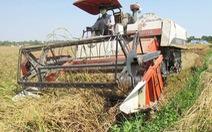 Giá lúa ổn định, có thể không cần tạm trữ vụ Đông Xuân