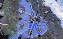 Úc phát hiện nhện biết bơi và bắt cá