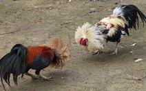 Triệt phá trường gà lớn tại Tiền Giang, bắt 35 con bạc