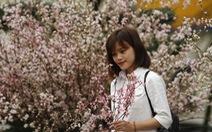 200 cây hoa anh đào Nhật tuyệt đẹp về tới Hà Nội
