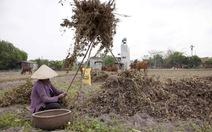 Long An, mùa nhổ đậu phộng