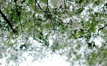 Hoa sưa, hoa ban nở trắng trời Hà Nội