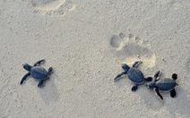 Hành động bảo tồn rùa biển Việt Nam