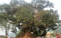 Huế có cây di sản thứ ba