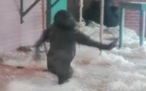 Clip chú khỉ đột Lope khiêu vũ gây sốt