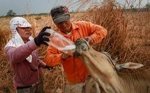 Điểm tin:Hàng trăm con bò chết vì nắng hạn