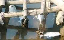Cá lồng chết hàng loạt tại Huế