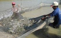 Hơn 8.000ha tôm thiệt hại do độ mặn cao