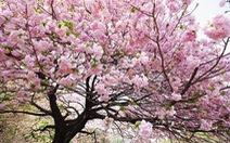 Hà Nội đưa 10.000 cành hoa anh đào về triển lãm ở Hồ Gươm